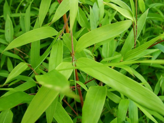 BAMBOO Phyllostachys bissettii