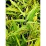 BAMBOO Pleioblastus auricomus