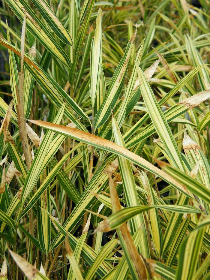 BAMBOO Pleioblastus variegatus