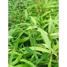 BAMBOO Pseudosasa japonica