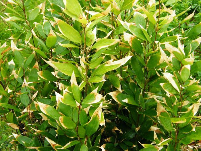 BAMBOO Shibataea kumasasa