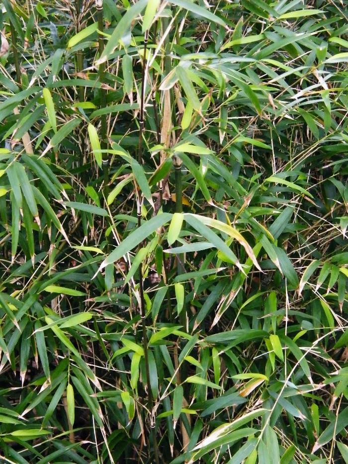 BAMBOO Yushania anceps