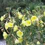 Oenothera biennis (evening primrose)
