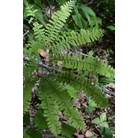 HARDY FERNS Adiantum pedatum 