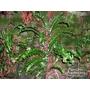 HARDY FERNS Asplenium scolopendrium