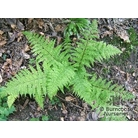 HARDY FERNS Athyrium filix-femina  