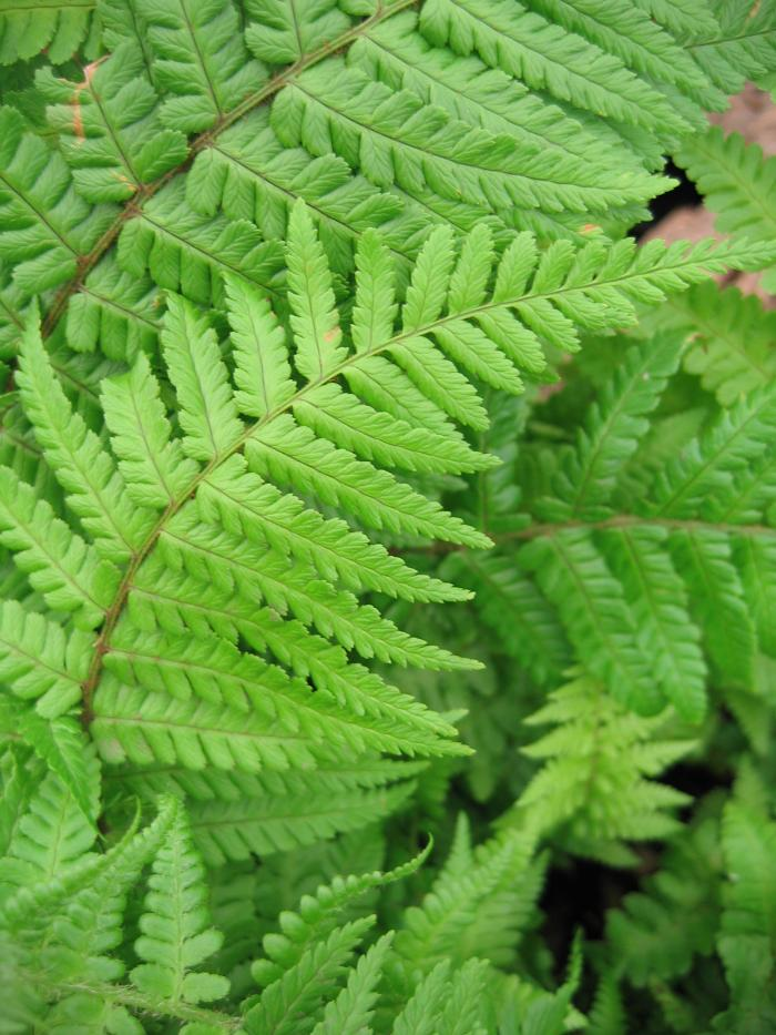HARDY FERNS Dryopteris affine 'Cristata the King'