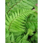 HARDY FERNS Dryopteris affine &#x27;Cristata the King&#x27;