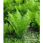 HARDY FERNS Matteuccia struthiopteris