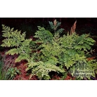 HARDY FERNS Osmunda regalis  