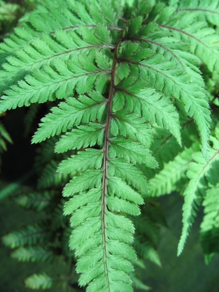 HARDY FERNS Athyrium niponicum 'Metallicum'