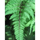 HARDY FERNS Athyrium niponicum &#x27;Metallicum&#x27;