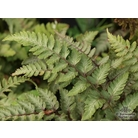HARDY FERNS Athyrium niponicum &#x27;Red Beauty&#x27;