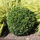 Buxus sempervirens (common box   ball)
