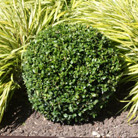 Buxus sempervirens (common box   ball)