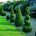 Buxus sempervirens (common box   cone)