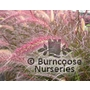 PENNISETUM setaceum &#x27;Rubrum&#x27;  