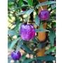 BILLARDIERA longiflora