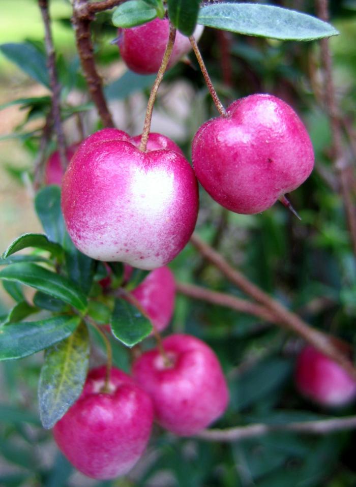 BILLARDIERA longiflora 'Cherry Berry'