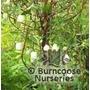 BILLARDIERA longiflora 'Fructo Albo'