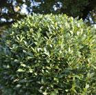 Laurus nobilis (bay ball   45cm)