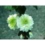 CLEMATIS florida 'Alba Plena'