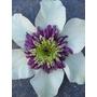CLEMATIS florida 'Bicolor'