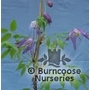 CLEMATIS macropetala 'Blue Bird'