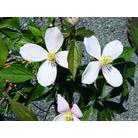 CLEMATIS montana var. rubens