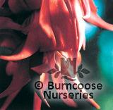 CLIANTHUS puniceus 'Red Cardinal'
