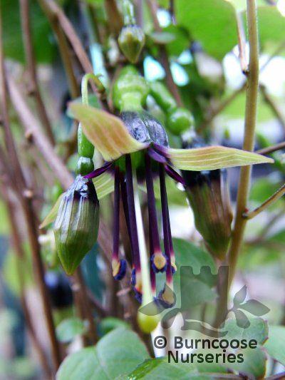 FUCHSIA perscandens