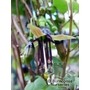 FUCHSIA perscandens