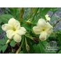 JASMINUM officinale affine &#x27;Clotted Cream&#x27; 