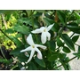 JASMINUM polyanthum  