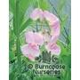 LATHYRUS latifolius 'Pink Pearl'
