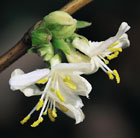 Lonicera x purpusii 'Winter Beauty' (winter honeysuckle)