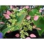 SCHIZOPHRAGMA hydrangeoides 'Rosea'