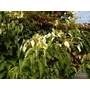Schizophragma integrifolium