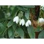SOLLYA heterophylla White Form
