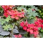 TROPAEOLUM speciosum  