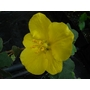 FREMONTODENDRON 'California Glory'