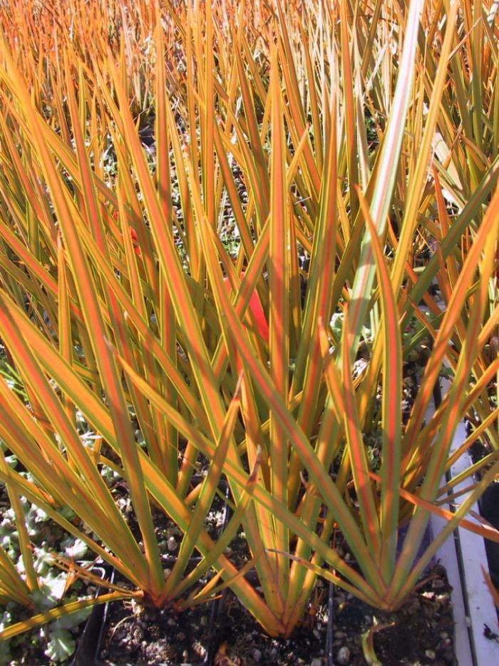 LIBERTIA peregrinans 'Gold Leaf'
