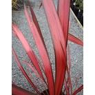 PHORMIUM 'Crimson Devil'