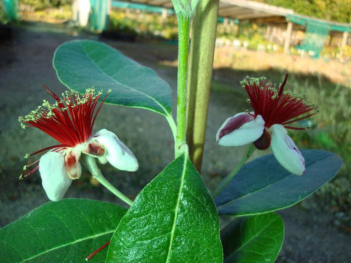 ACCA sellowiana 'Mammoth'