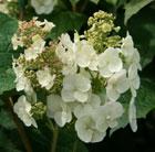 Hydrangea quercifolia Snow Queen ('Flemygea') (oak leaved hydrangea)
