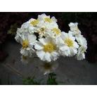 ACHILLEA ptarmica 'Perry's White'