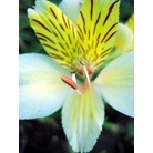 ALSTROEMERIA 'Friendship'