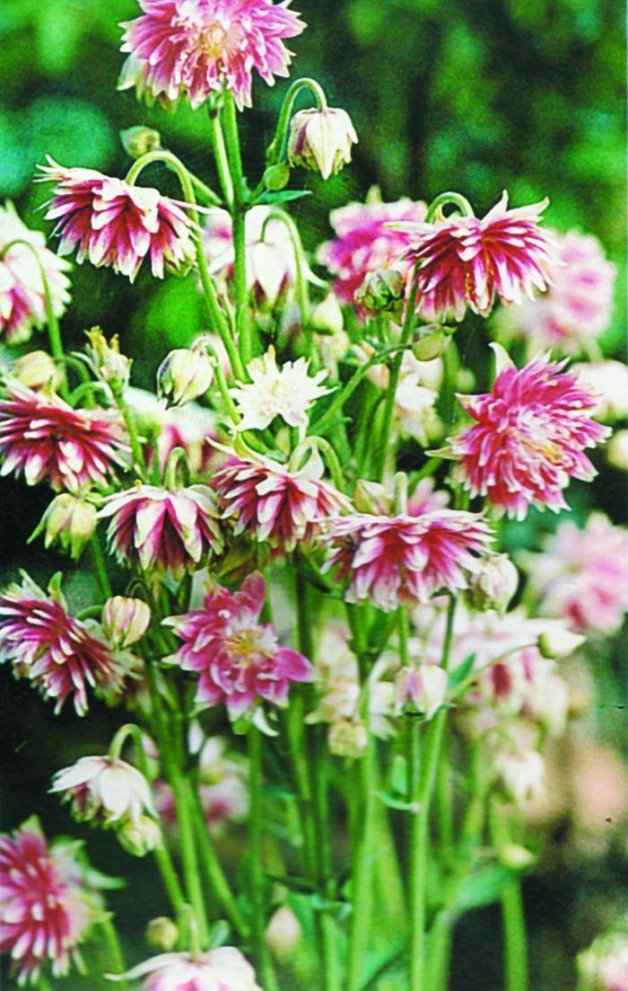 AQUILEGIA vulgaris 'Nora Barlow'