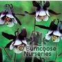 AQUILEGIA vulgaris 'William Guinness'