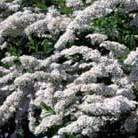 Spiraea 'Arguta' (bridal wreath)